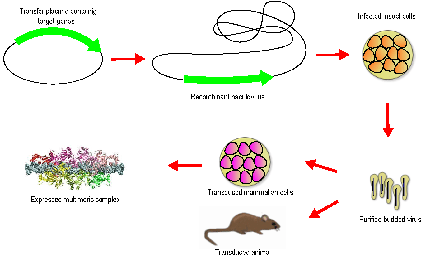 baculovirus and insect cell expression protocols methods in molecular biology