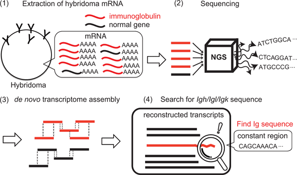 The Process For Sequencing Hybridoma Cells 1 Extracting RNA From 100000 2 Amplification Cloning And VH VL Regions 3 Assembly